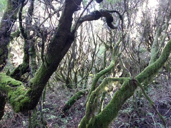 el-hierro-bosco-laurisilva